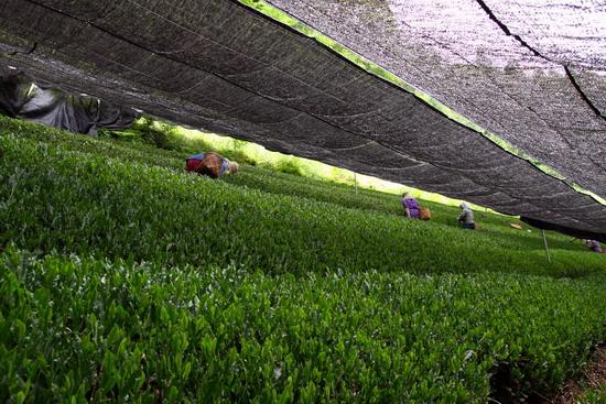 gyokuro garden2