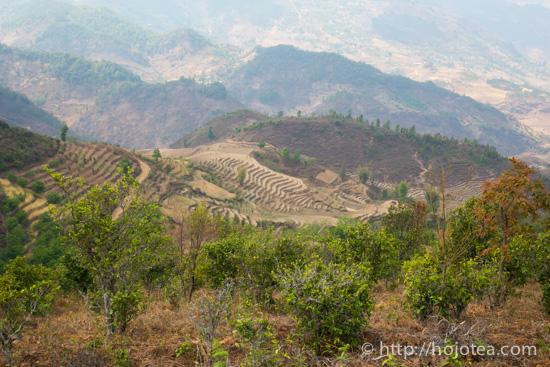 臨滄の一般的な茶園