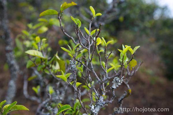 雲南省の自然栽培茶