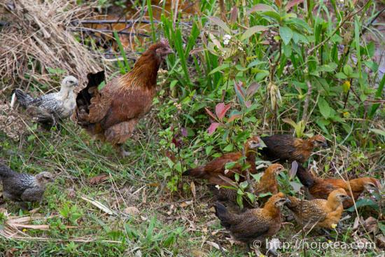 Yunnan Chicken