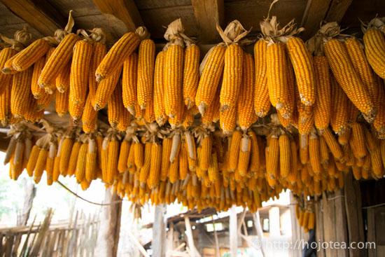 雲南省、トウモロコシ