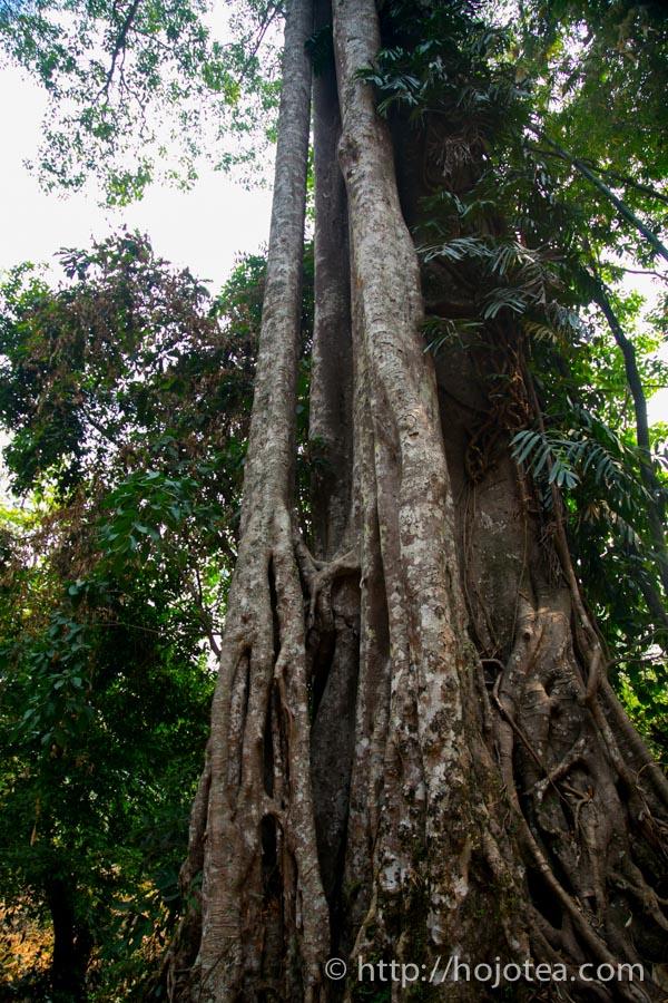 雲南省の巨木