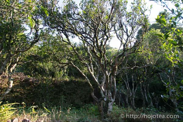 dan cong oolong tea tree