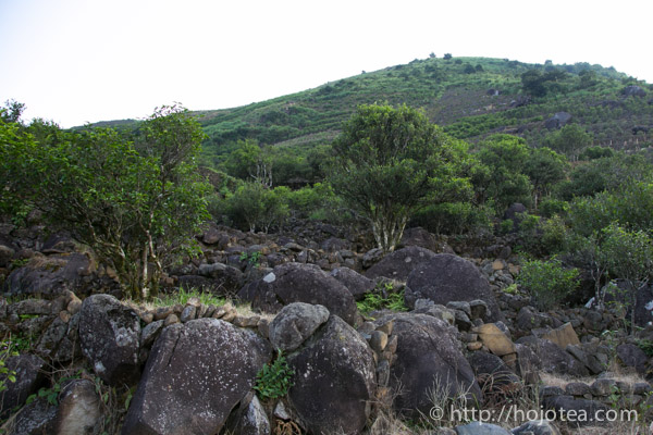 Tea trees and rocks