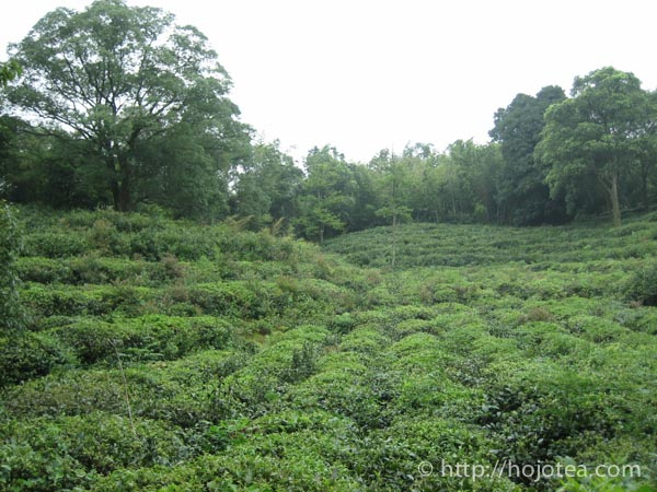 君山島の茶園
