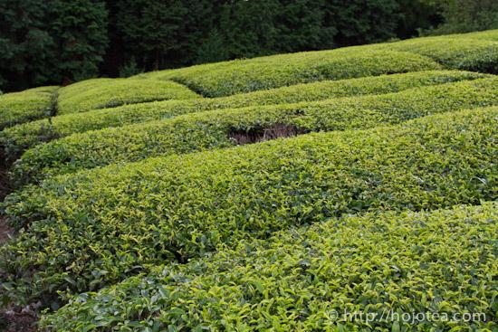 tsukigase tea garden