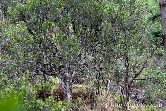 鳳凰単叢のお茶の木