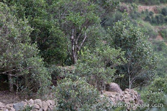 鳳凰単叢の老木