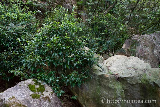 岩場に生えるお茶の木