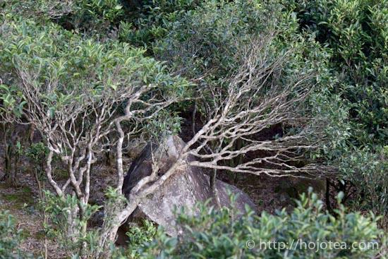岩場のお茶の木