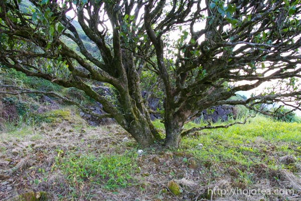 old phoenix tea tree