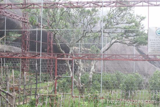 東方紅の老木
