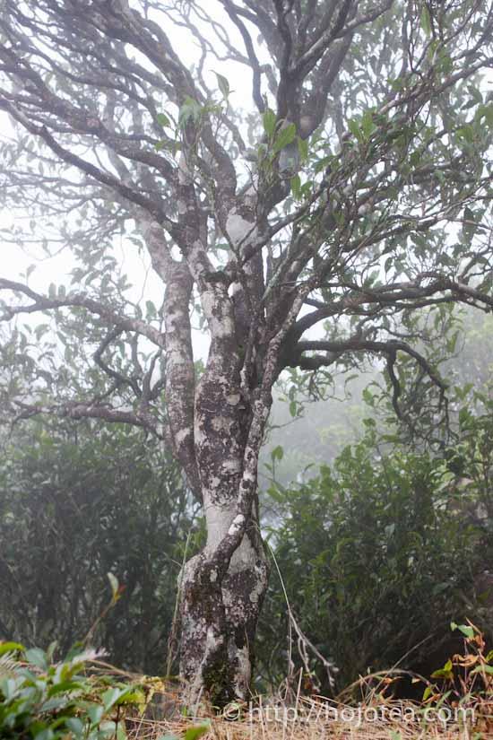 鳳凰単叢烏龍の老木