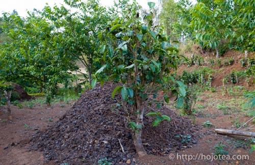 Tea grown next to the fertilizer
