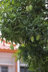 mango2.jpg