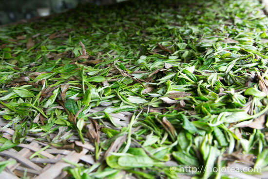 withering for white tea