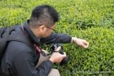 tea garden of white tea
