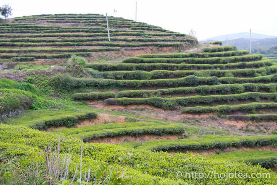 tea garden for white tea