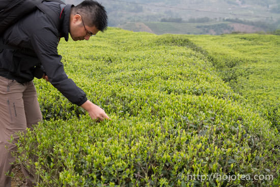 tea garden for white tea