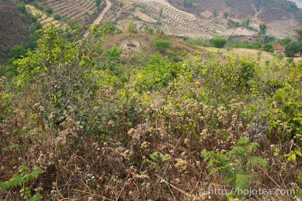 natural farming of pu-erh raw tea