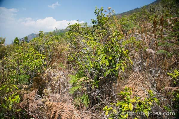 natural farming of pu-erh tea