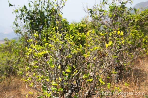 natural farming of tea for making puerh tea