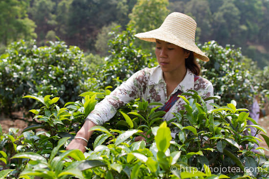 pu-erh tea plucking