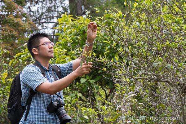 pu-erh tea natural farming