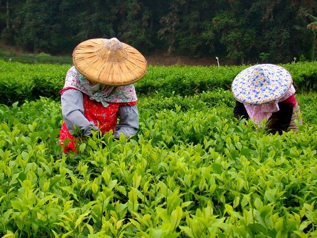 Plucking Formosa Black Tea