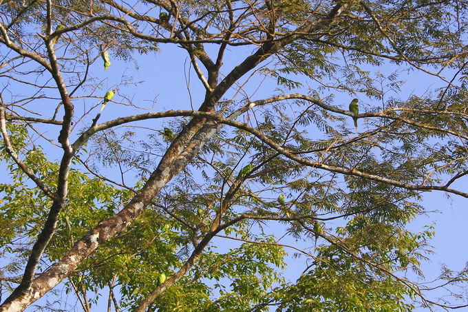There are many parrots on the tree. Thanks to the bio-garden practice, the ecological condition is rapidly recovering in Darjeeling.