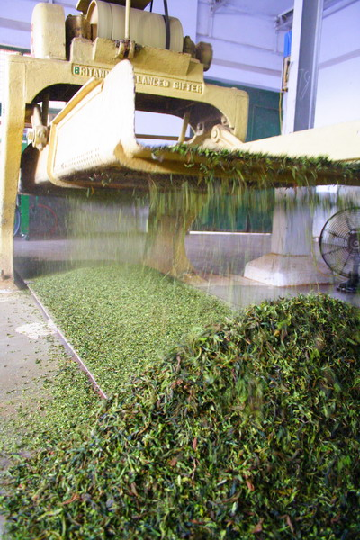 In the middle of the rolling process, tea leaves are sieved into a few sizes. The big leaf is returned back to the rolling machine.