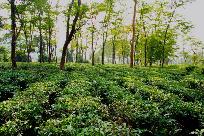 Low Grown Tea Garden is located on level ground