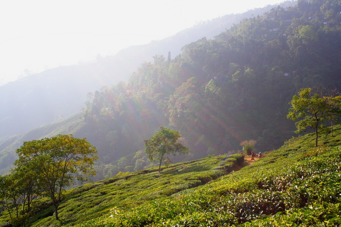 The tea garden in the morning with sunshine: It is only during the earlier hours of the day when we can have a clear view. Starting from 10-11am, the tea gardens are fully covered by very thick fog.