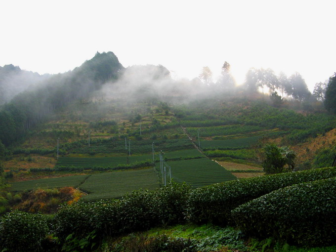 Fog covers the tea garden. Therefore, tea leaves are rich in theanine.