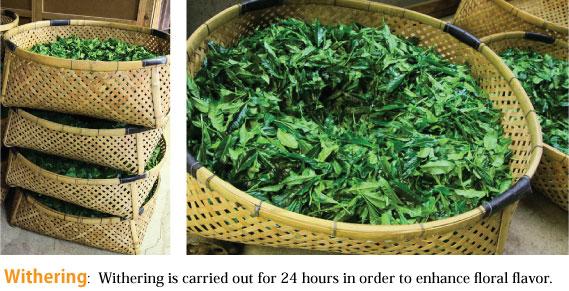 蛇塚煎茶 萎凋工程