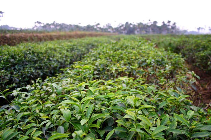 Tea garden of Qing-xin Oolong