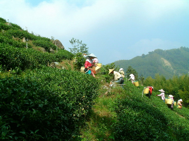 HOJO's Li Shan Cha is produced at the tea garden that is higher than 2000m