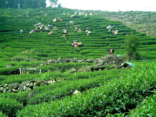 Tea Plucking Scene at Li Shan