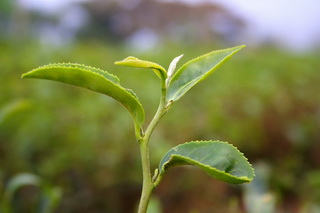 This is the tea leaf that is attacked by green flies and turns into yellow in color