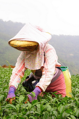 Tea Garden of High Mountain Oolong