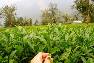 High Mountain Tea Garden