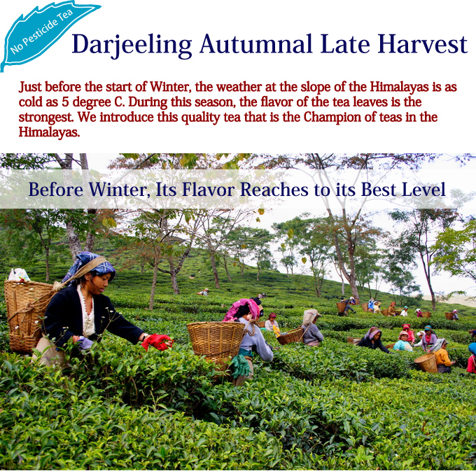 Just before the start of Winter, the weather at the slope of the Himalayas is as cold as 5 degree C. During this season, the flavor of the tea leaves is the strongest. We introduce this quality tea that is the Champion of teas in the Himalayas./ Darjeeling Autumnal Late Harvest