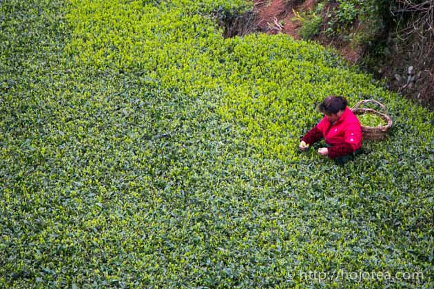 白茶の茶摘み