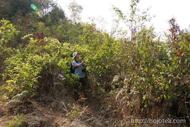 自然栽培茶園