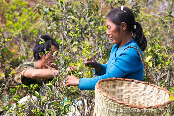 少数民族によるお茶摘み