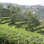 緑茶の効果と効能