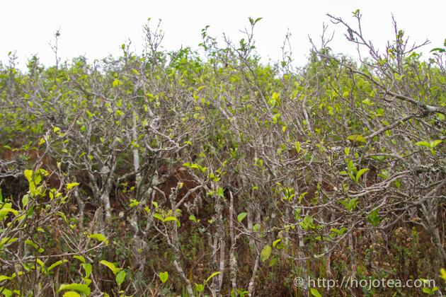 プーアル茶の自然栽培茶園