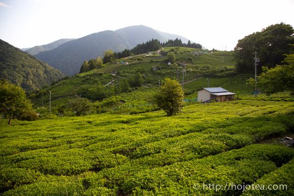 春日の茶園