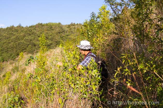 雲南省の自然栽培プーアル茶