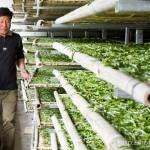 白茶の生産工程